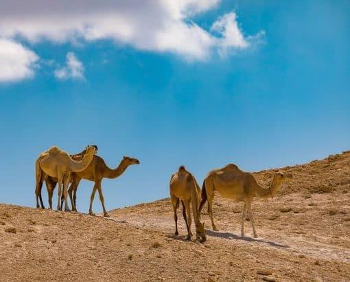 גמלים במדבר