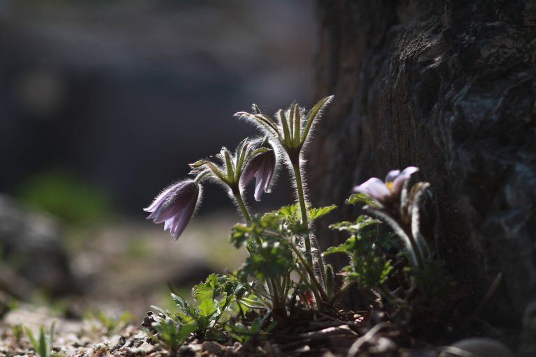 צמח נובל ולידו צמח פורח