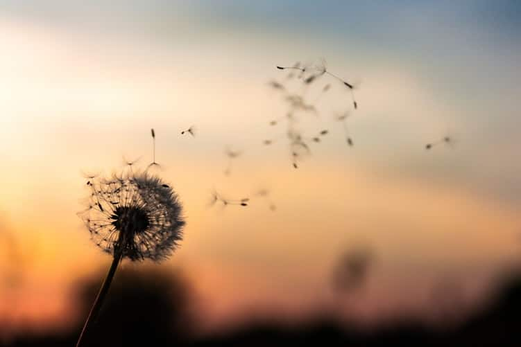 פרח סביון לתוך שקיעה