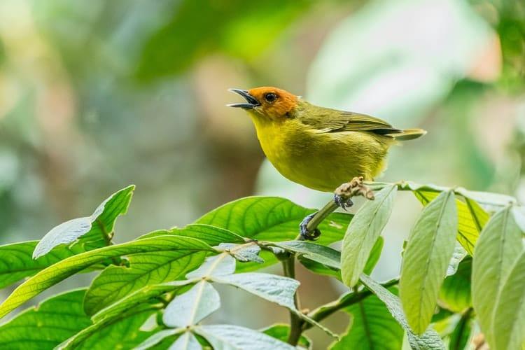ציפור שיר