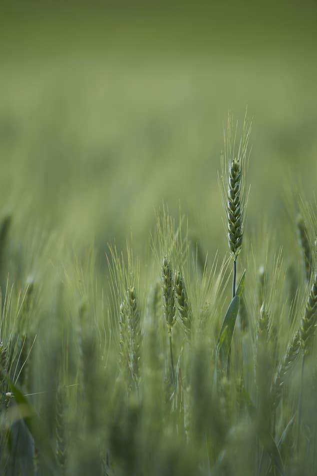 שדה שיבולים ירוקות