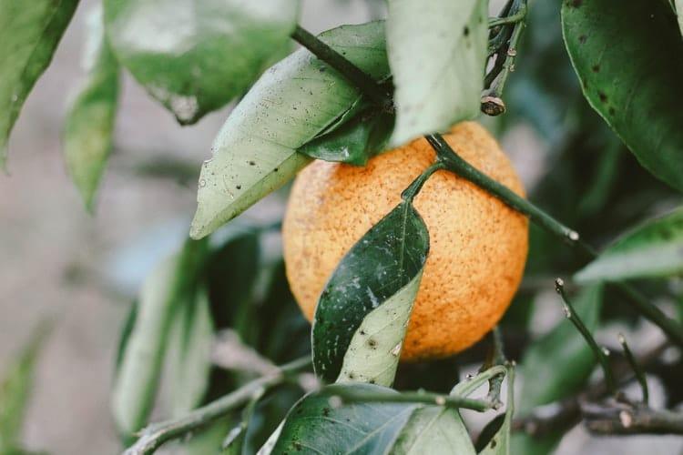 פרדס תפוזים