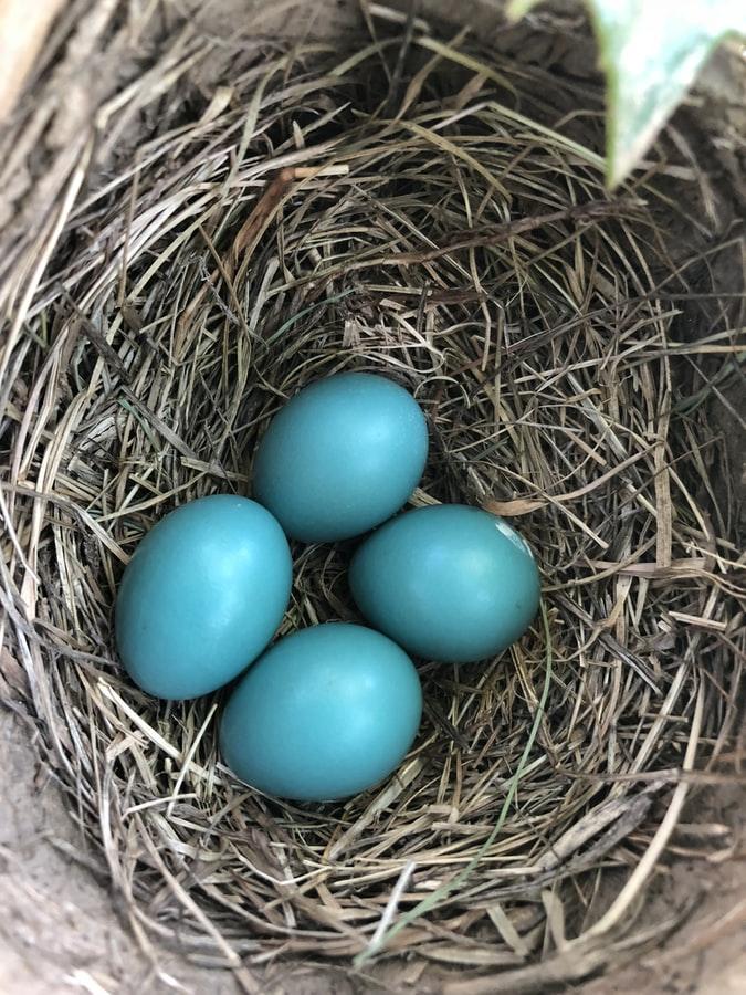 ביצים בקן